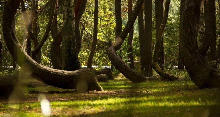 Krzywy Las w Polsce w mieście Nowe Czarnowo