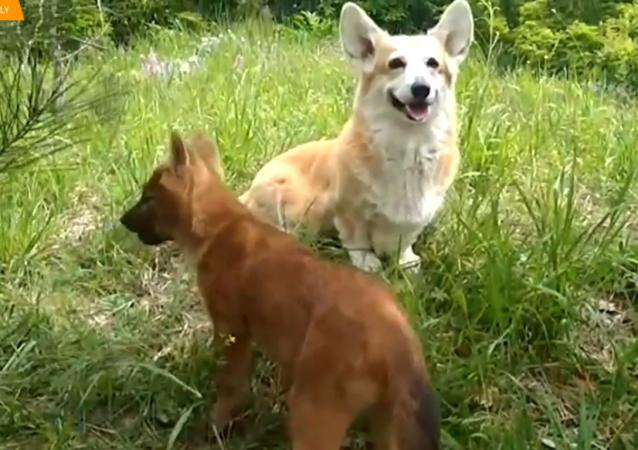Para Corgi przyjęła dwa małe wilczki.