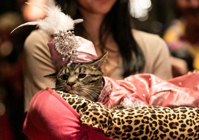 Kotka Sakie podczas pokazu mody Algonquin Hotel's Annual Cat Fashion Show w Nowym Jorku