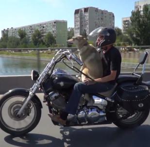 Pies motocyklista