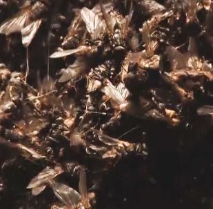 Roje much okupują wieś.