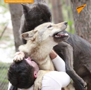 Przyjaciel stada wilków