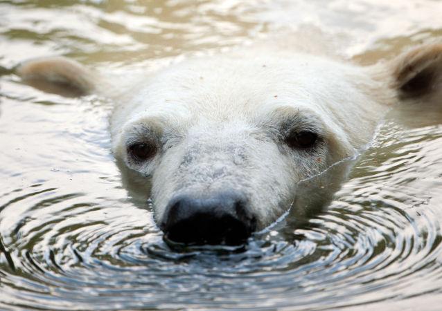 Niedźwiedź polarny pływa w berlińskim zoo