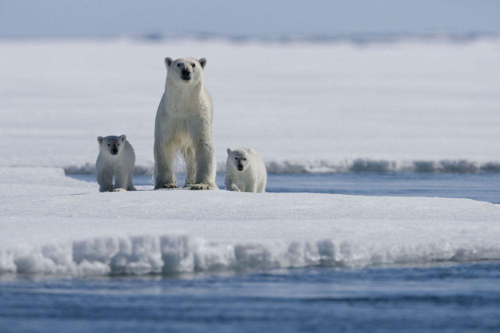 Rodzina niedźwiedzi polarnych