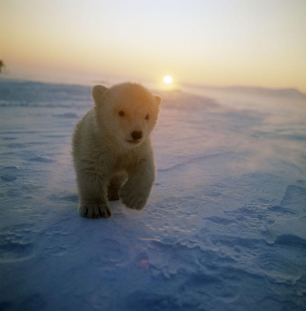 Niedźwiedziątko na Wyspie Wrangla, Rosja