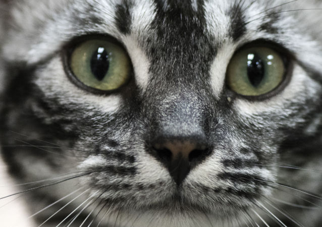 Kot na Międzynarodowej Wystawie Kotów Rasowych Feline