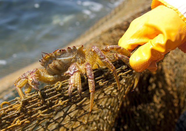 Krab w sieciach. Zdjęcie archiwalne