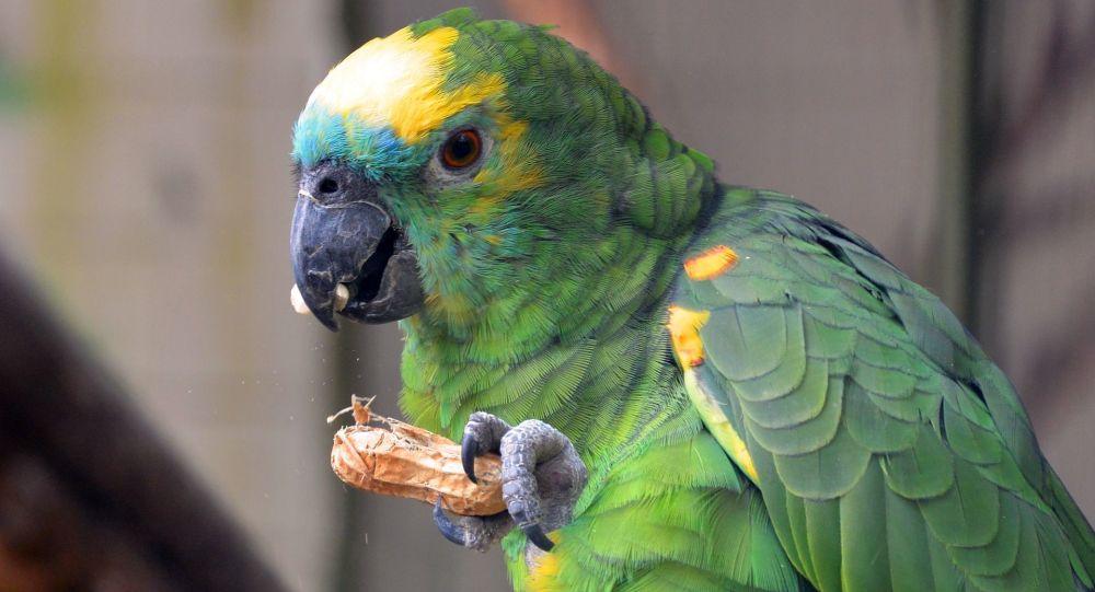 Zielona papuga gryzie orzech