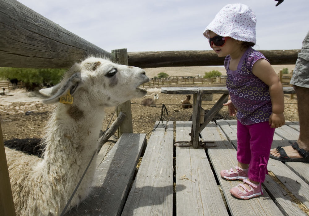 Farma alpak w Izraelu