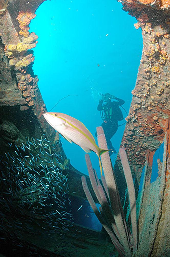 """Nurek we wraku okrętu """"Hilma Hooker"""", Bonaire."""