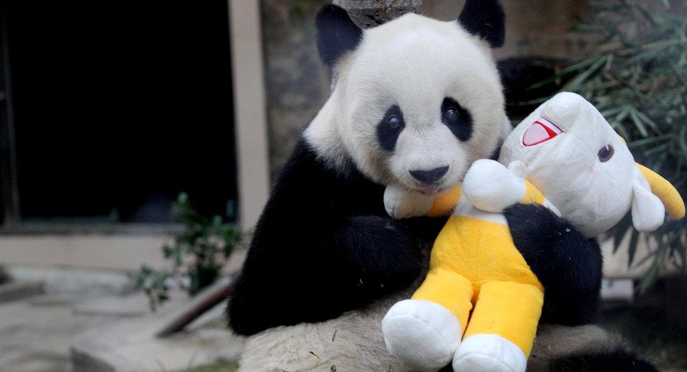 Gigantyczna panda Pan Pan holds w zoo w Fuzhou. Chiny, prowincja Fujian. 12 listopada 2010