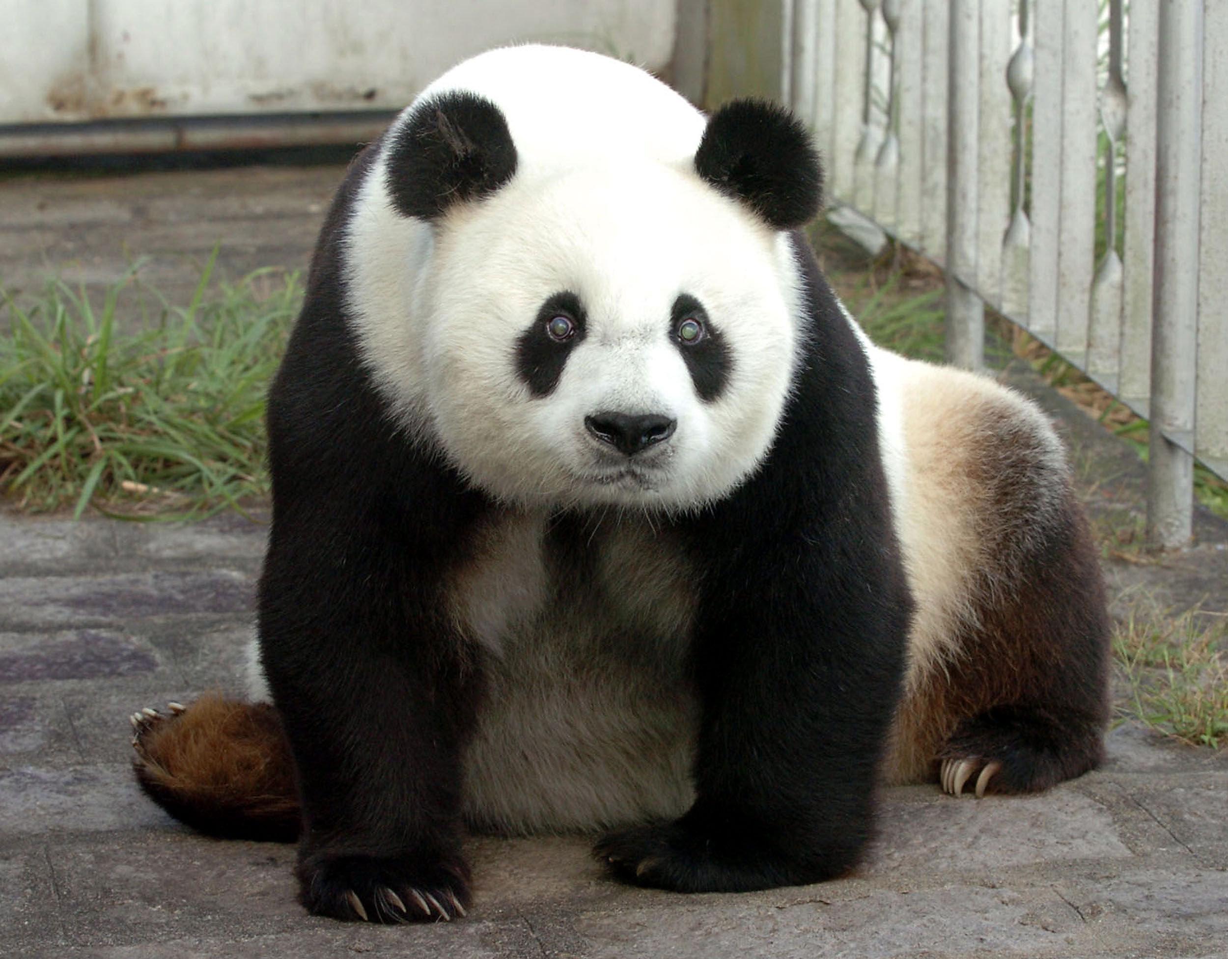 Zdjęcie Pan-Pana w wieku 25 lat. Wrzesień 2005. Zoo Fuzhou. Chiny, prowincja Fujian. 12 listopada 2010