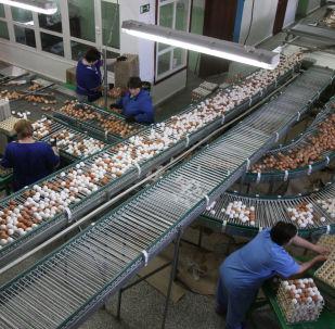 Praca na fermie kurzych jaj