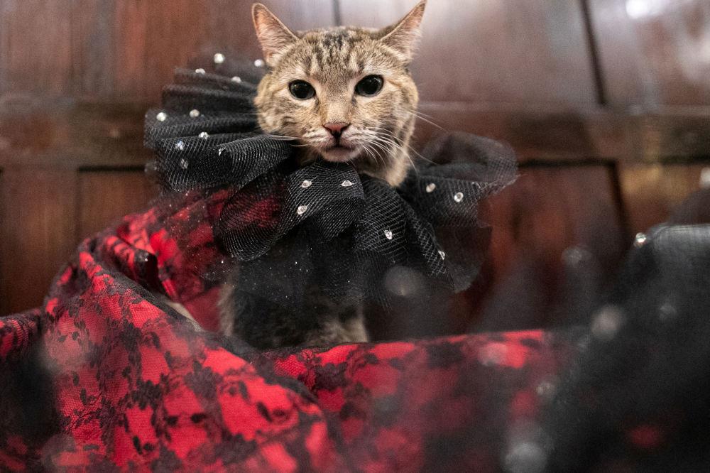 Kotka Mrs.Parberry podczas pokazu mody Algonquin Hotel's Annual Cat Fashion Show w Nowym Jorku