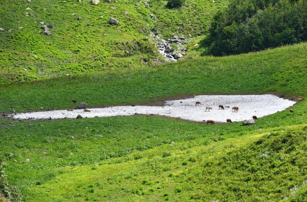 Krowy na pastwisku w Abchazji