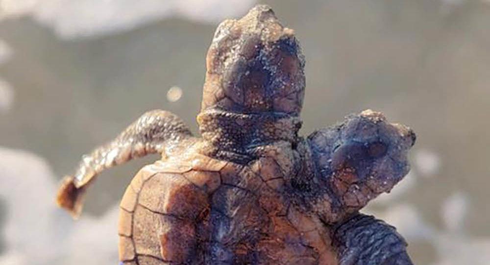 Dwugłowy żółw