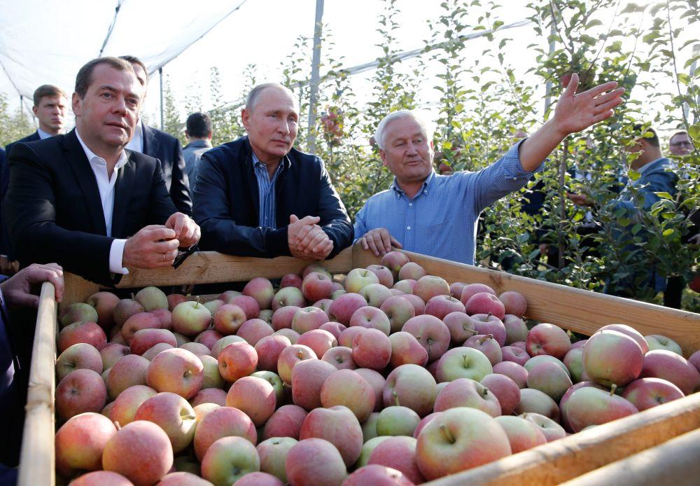 Władimir Putin i Dmitrij Miedwiediew podczas zbioru jabłek
