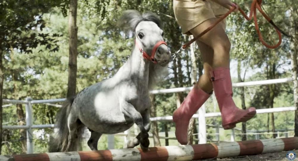 Najmniejszy na świecie koń, zarejestrowany w Księdze Rekordów Guinnessa