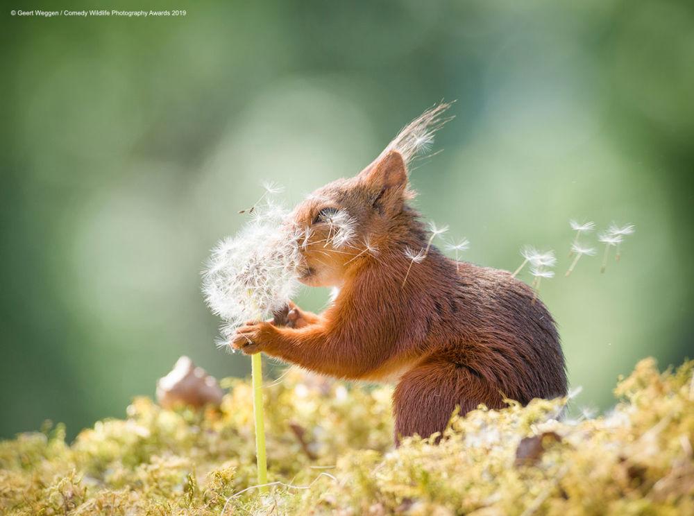 Wiewiórka z dmuchawcem