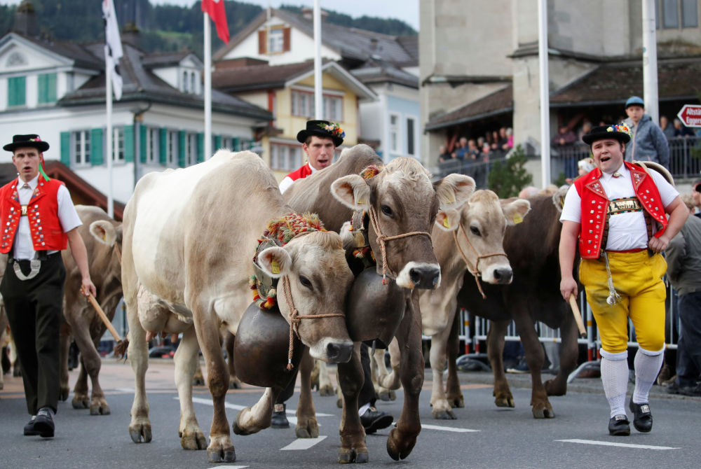 Tradycyjny pokaz bydła w Alpach