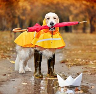Golder retriever w kaloszach, płaszczu przeciwdeszczowym i parasolem w zębach