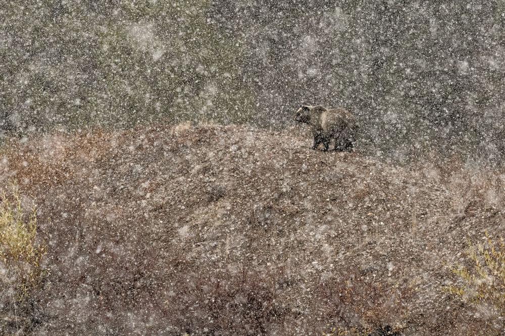 Under the snow…. Fotograf: Stefano Quirini (Włochy). Nominacja Ssaki.