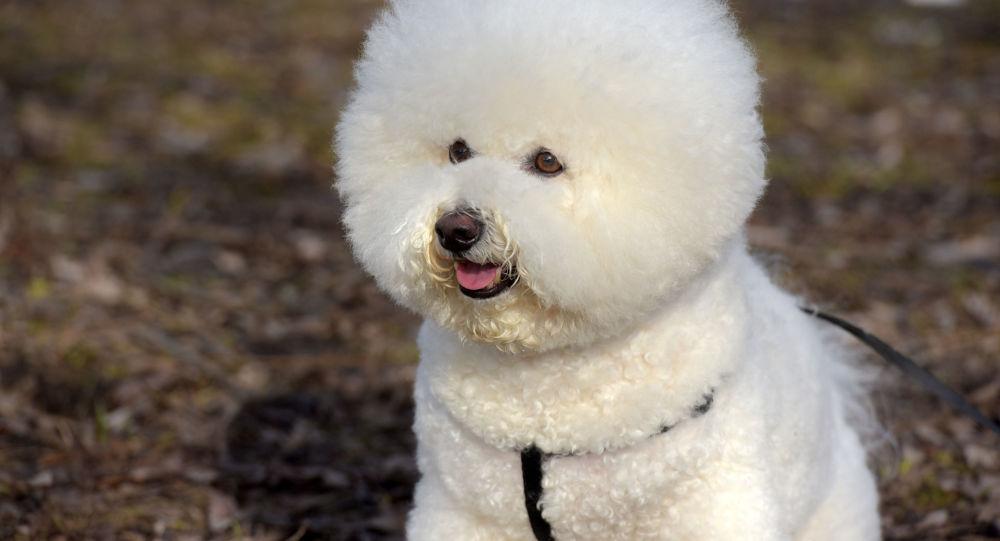 Pies rasy bichon frise