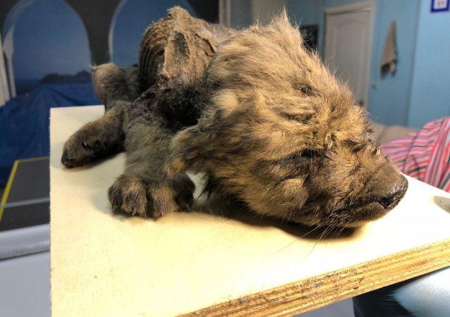Szczątki szczeniaka znalezione na Syberii