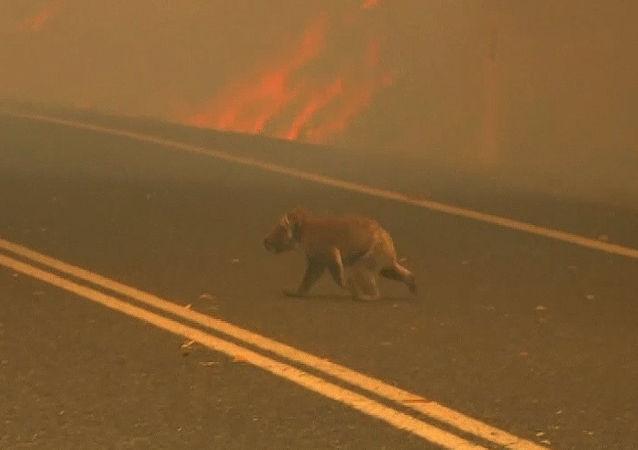 Pożary w Australii: Kobieta wyciągnęła koalę z płomieni
