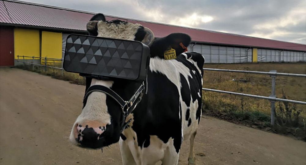 Krowy w okularach VR na farmie w obwodzie moskiewskim