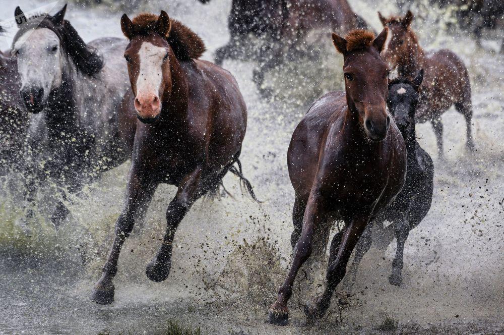 Konie. Mongolia