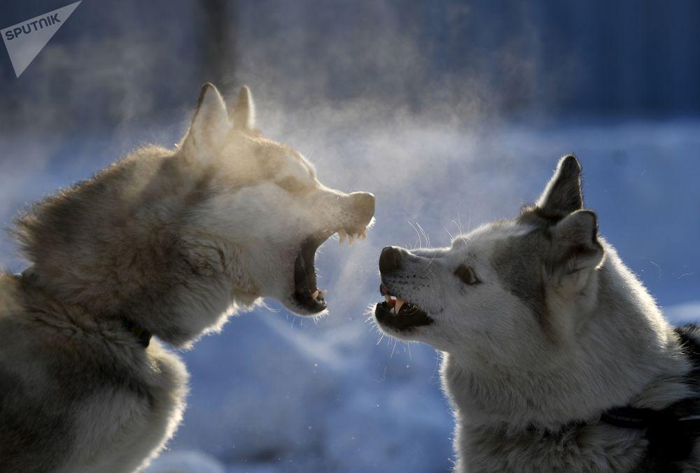 Psy zaprzęgowe w Nowosybirsku