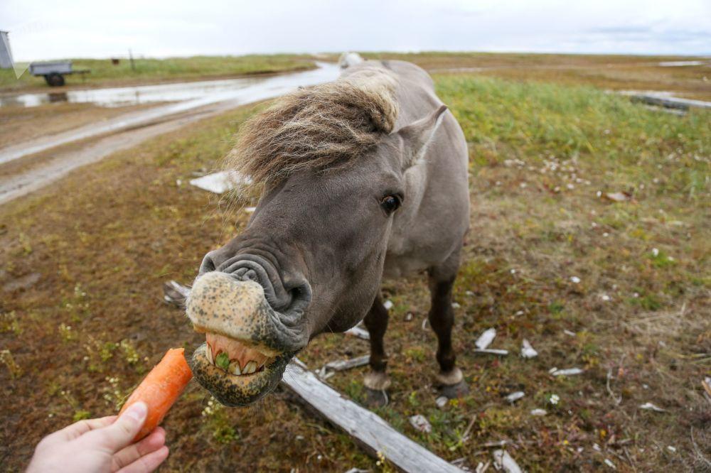 Dziki koń pod Murmańskiem