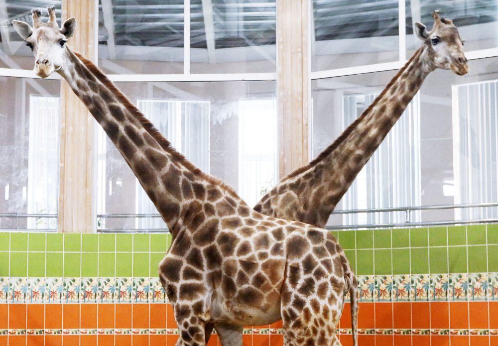 Żyrafy w Krasnojarsku