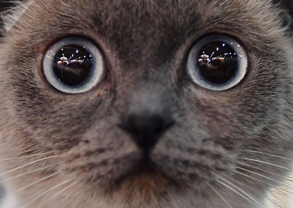 Szkocki zwisłouchy kot