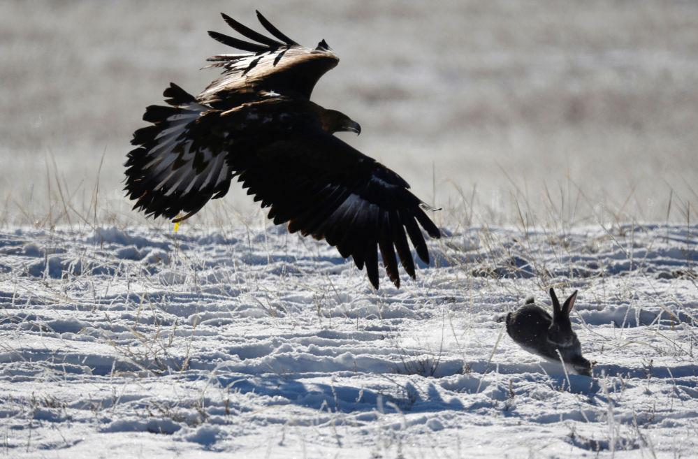 Orzeł podczas polowania na zająca w Kazachstanie