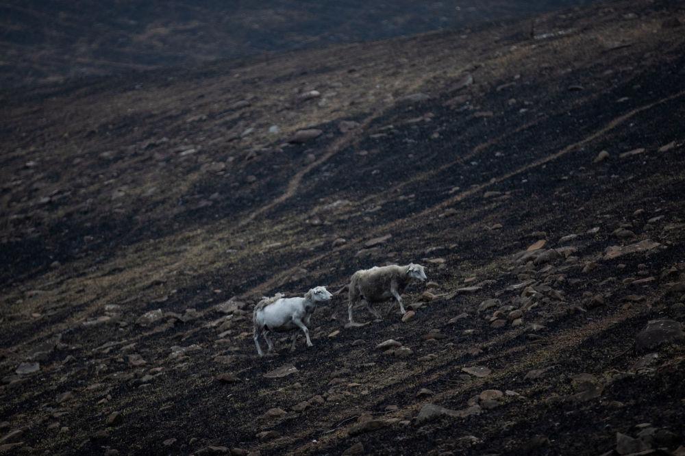 Owce na miejscu pożaru w rejonie Bega, w stanie Nowa Południowa Walia