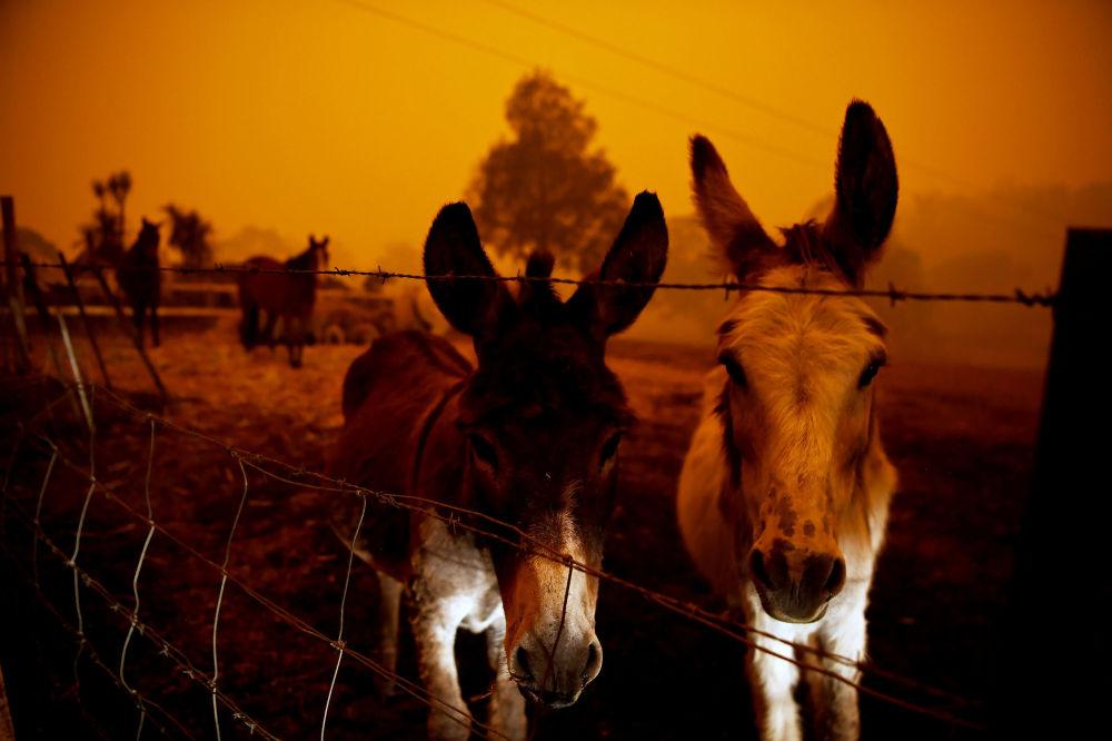 Zwierzęta podczas pożarów leśnych w Australii