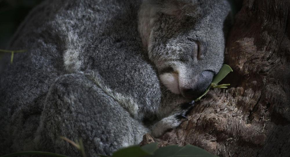 Koala w zoo w Singapurze