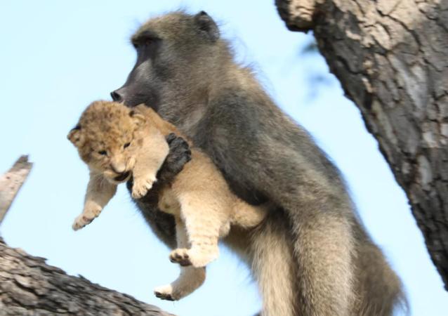Pawian i lew