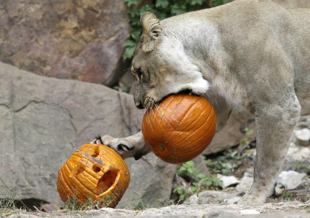 Lew gra z świątecznymi dyniami w zoo w Teksasie na Halloween