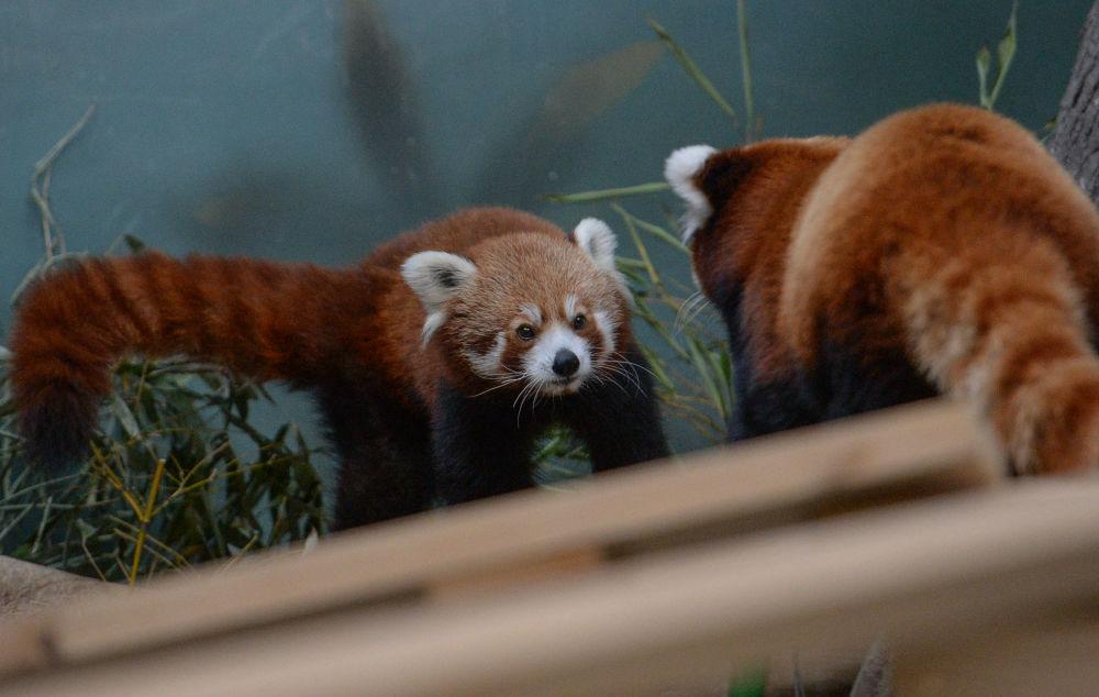 Czerwone pandy w Moskiewskim ZOO
