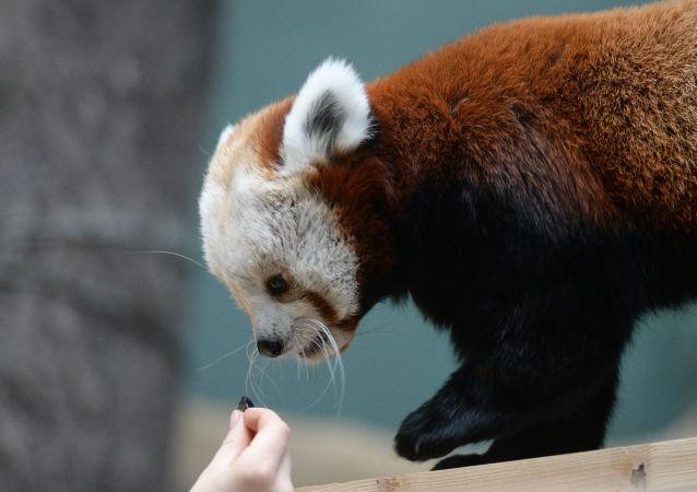 Samica czerwonej pandy w Moskiewskim ZOO