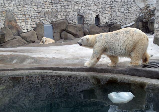 Niedźwiedzie polarne w wolierze moskiewskiego ogrodu zoologicznego