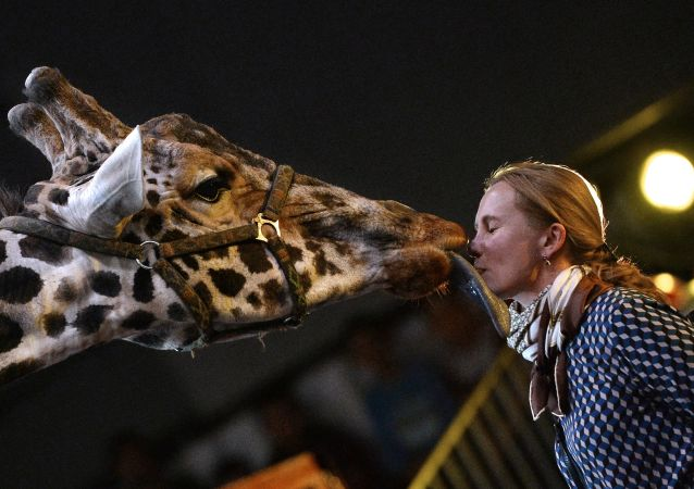 Żyrafa na premierze Programu Noworocznego Cyrku Dużych Zwierząt w Sokolnikach.