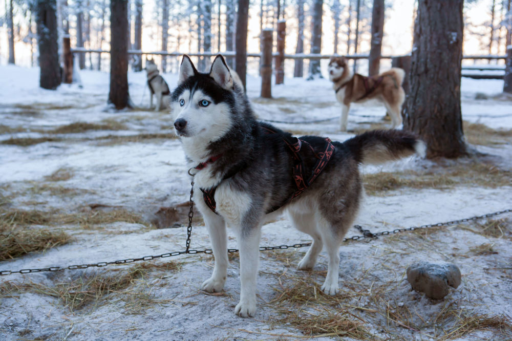 Psy rasy siberyjski husky na terenie kompleksu turystycznego Karjala Park w Karelii