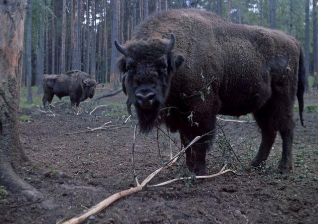 Żubry w Puszczy Białowieskiej