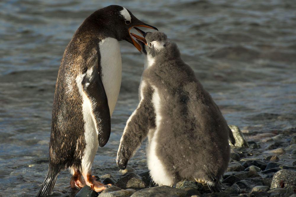Pingwiny białobrewe na Antarktydzie