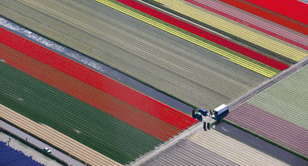 Pole kwiatów w Holandii