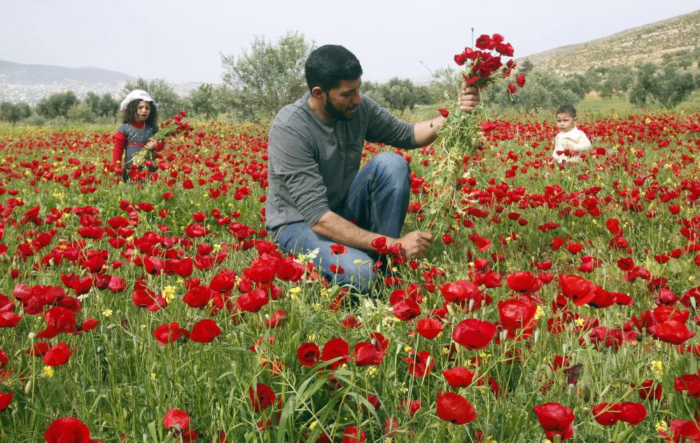 Zbieranie maku w miejscowości Nablus